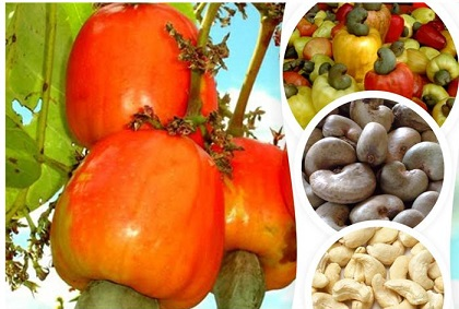 KOGI CASHEW NUTS FARMERS INTENSIFYING BEFORE FARMING SEASON