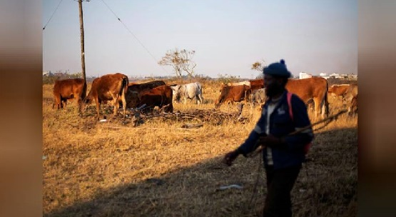 African cattle investing – the new cash cow?
