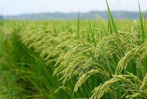 Massive Rice Farmers Ready for Dry Season Production